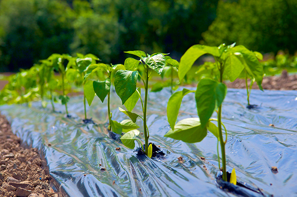 Jeunes plants de piments