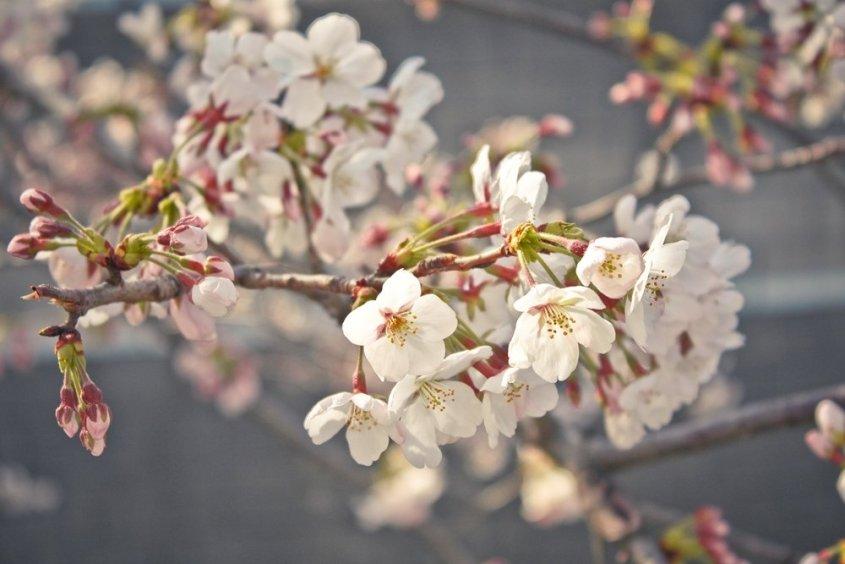 Sakura in Tokyo