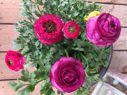 Grow ranuculus in your garden this spring for a spectacular show.