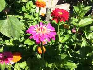 Zinnias in the Garden