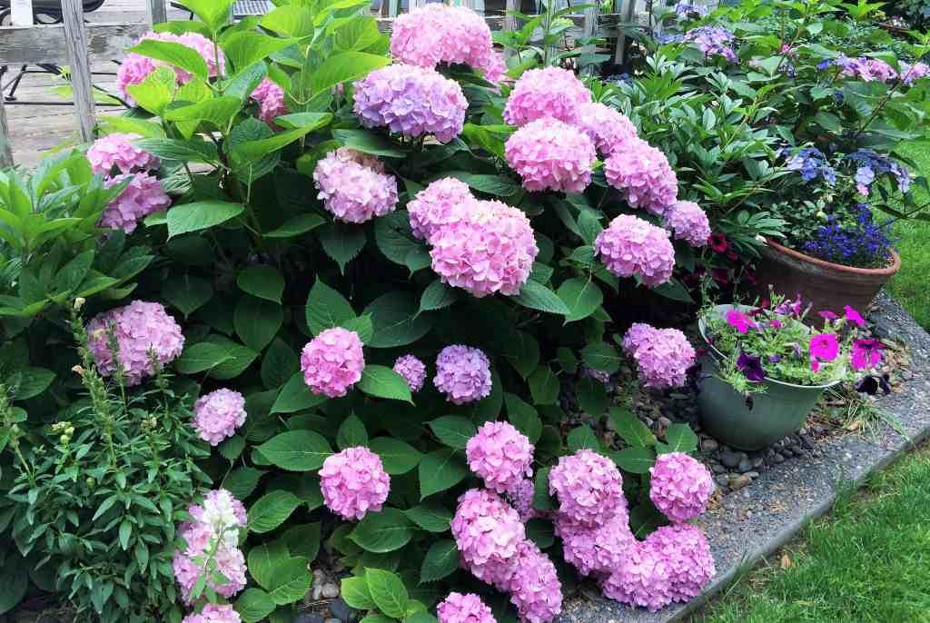 Garden hydrangeas at their peak