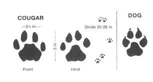 cougar print