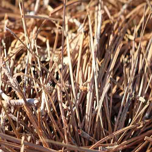 Long Leaf Pine Needles
