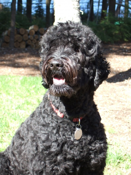 Australian Labradoodle Dogs For Adoption In Maine Pine