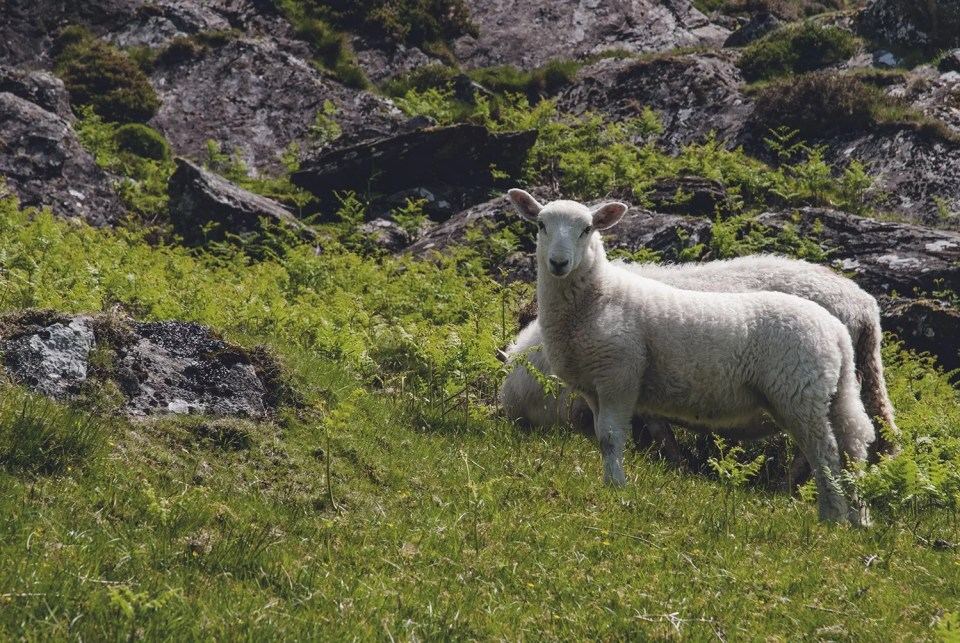 Walia owce Snowdonia