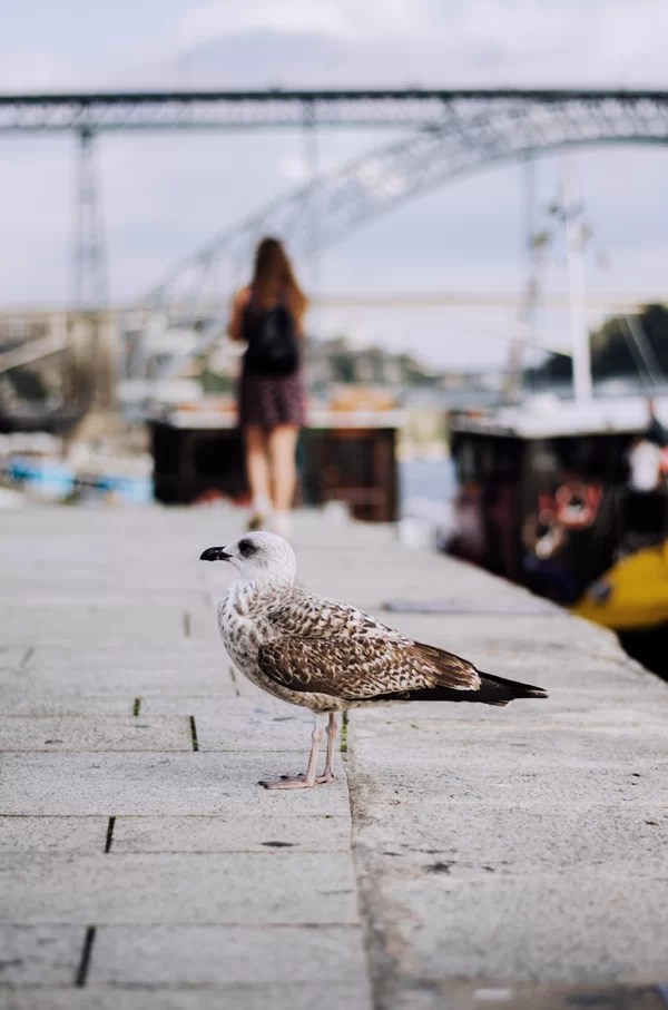 Porto mewy