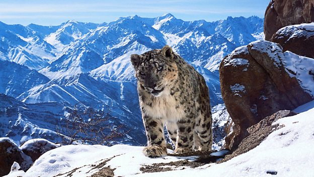Image of a snow leopard from BBC's Planet Earth 2.