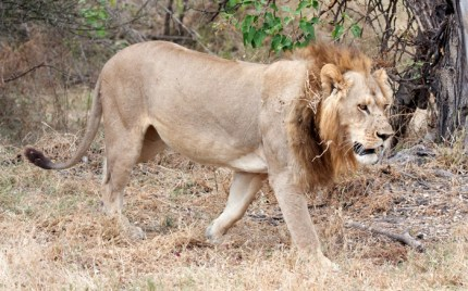 Gender-bending animals: Mmamoriri the lioness is said to exhibit the physical characteristics of both genders.