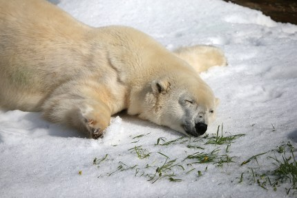 A polar bear, such as the ones depicted in the 'anal sex' Christmas display, plays in the snow.