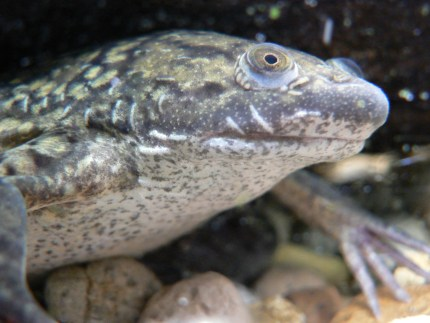 Gender-bending animals that can change sex or appearance: African_Clawed_Frog