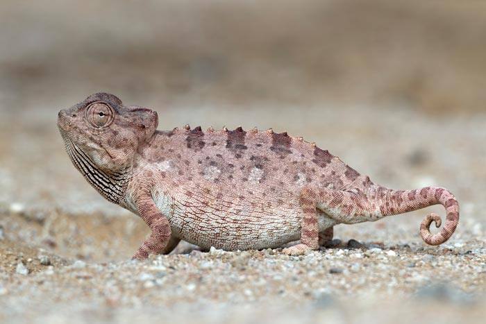 A sandy coloured lizard stands in profile, blending in remarkably well with the sand.