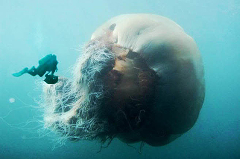 Huge Jellyfish