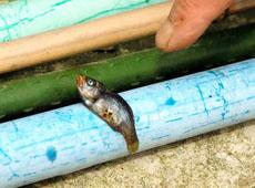 Raining fish in Japan --