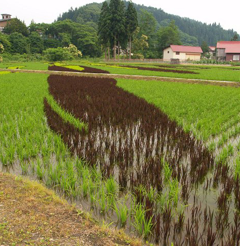 Rice paddy art, Japan --