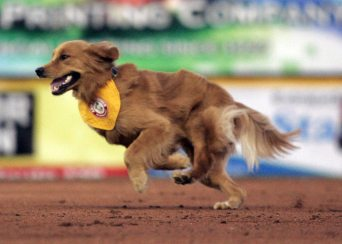 Trenton Thunder bat dog Rookie runs around the infield during his debut on opening day 2015 (Jessica Kovalcin)