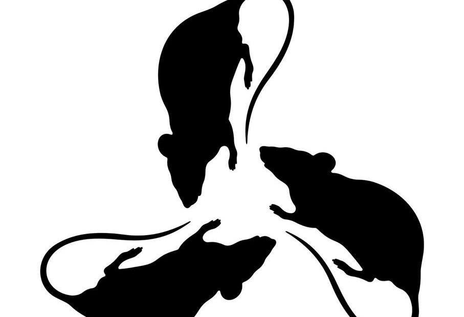 Trzy szczury zwrócone pyskami do siebie tworzące okrąg