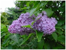 Zdjęcie gałąź fioletowego bzu