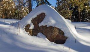 Felsenhase im Schnee