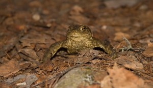 Einäugige Erdkröte