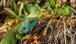 Smaragdeidechse-Männchen