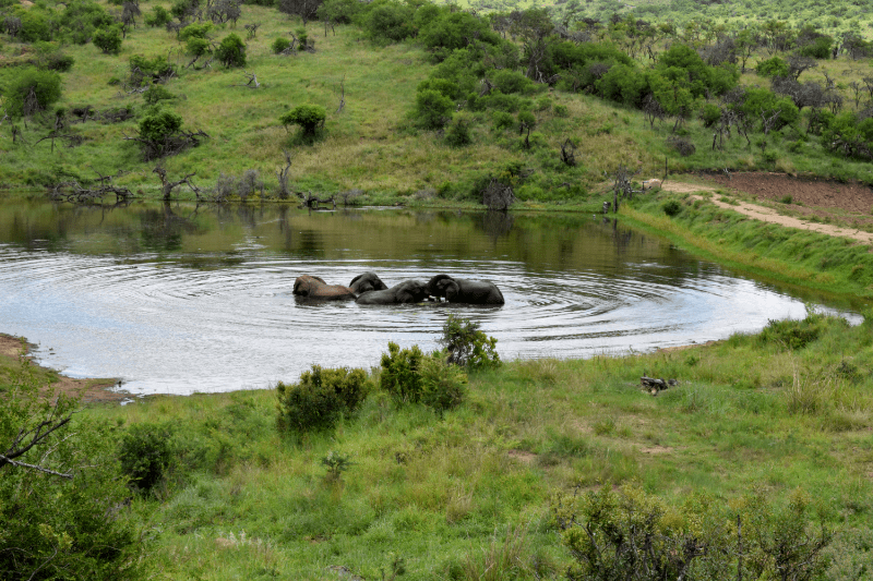 Nambiti Pool Elephant
