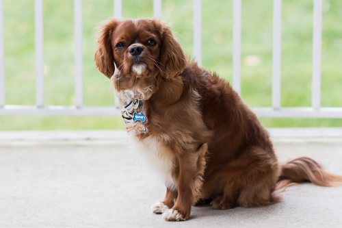 Flynn the King Charles Cavalier dog sitting down