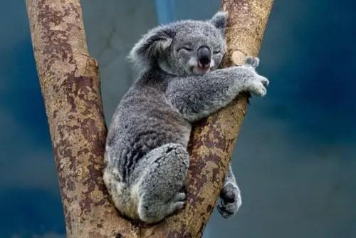 Cute koala bear in the tree picture