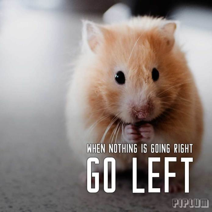 Funny quote. Little brown mouse looking into the camera and eating something