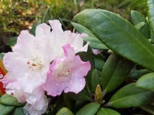 Mrozoodporne niezwykle trwałe Królewskie Rododendrony