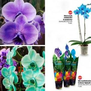 Farbowane rośliny doniczkowe