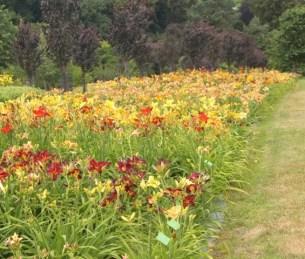 Liliowce na rabaty-kiermasz i wystawa najpiękniejszych kwiatów lata