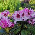 rododendron królowa jadwiga