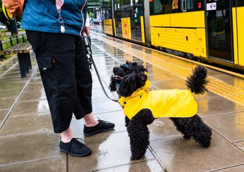 Pies w żółtej pelerynce