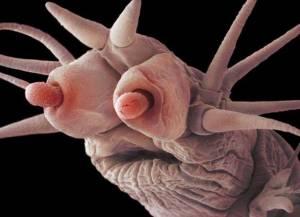 poliqueto-gusano-escamoso