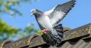 Ako zabrániť invázii vtákov na váš dom