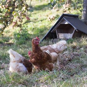huevos ecológicos asturias granja pitasana
