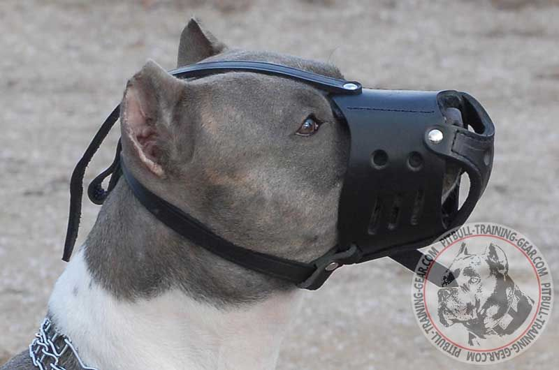 Pitbull muzzle made of leather with adjustable straps big Is A Pitbull A Good Dog