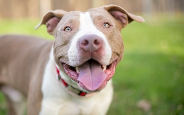 what kind of dog is a pitbull online -