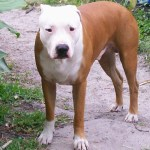 Pitbull Training Questions Or How Do I Train My American Pit Bull Terrier