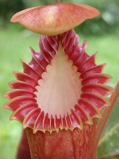 Resultado de imagem para Nepenthes edwardsiana