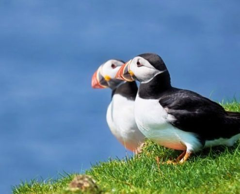 Puffins sharing some sunshine - can be see at Handa Island