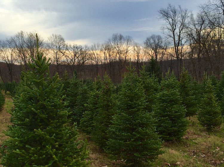 Christmas Trees in Pittsburgh