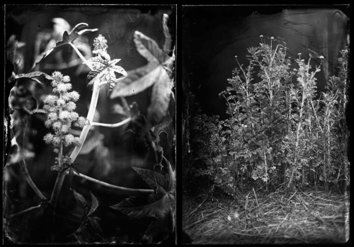 LEFT: Castor (2008/2012)   Fiber-based silver gelatin hand-printed photograph (from ambrotypes)   33.5 x 25.2 inches   Edition of 3/5. RIGHT: Chrysanthemum (2008/2012)   Fiber-based silver gelatin hand-printed photograph (from ambrotypes)   23.6 x 17.3 inches   Edition of 3/5.