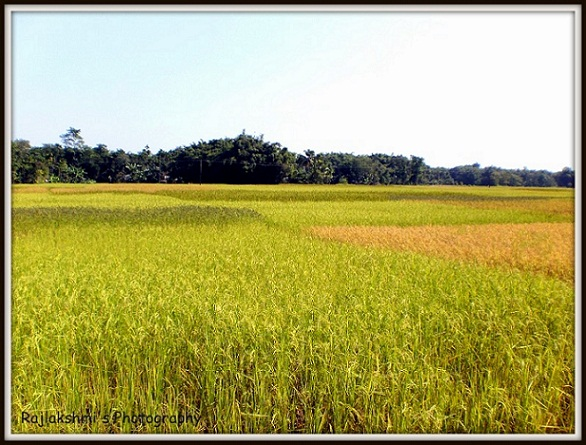 assam photo rice field