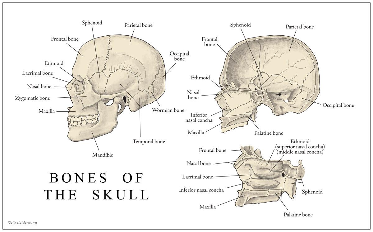 Pixeleiderdown Anatomy