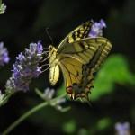 Conoscete le farfalle?