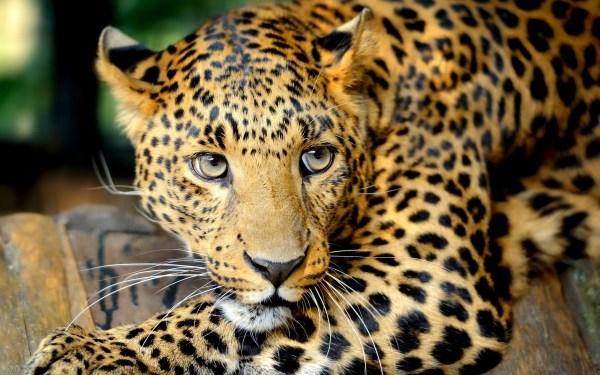 Leopard HD Wallpaper High Resolution | PixelsTalk.Net