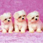 Free Download Cute Puppy Wallpapers Pixelstalk Net
