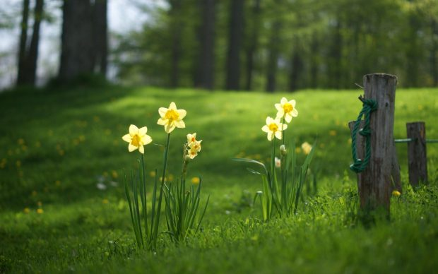 Daffodil HD Wallpaper.