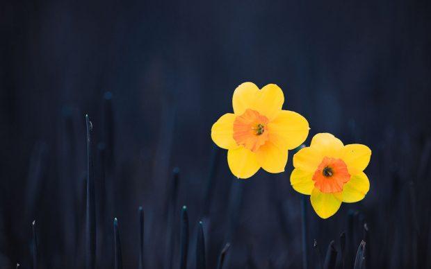 Daffodil Wallpaper Free Download.